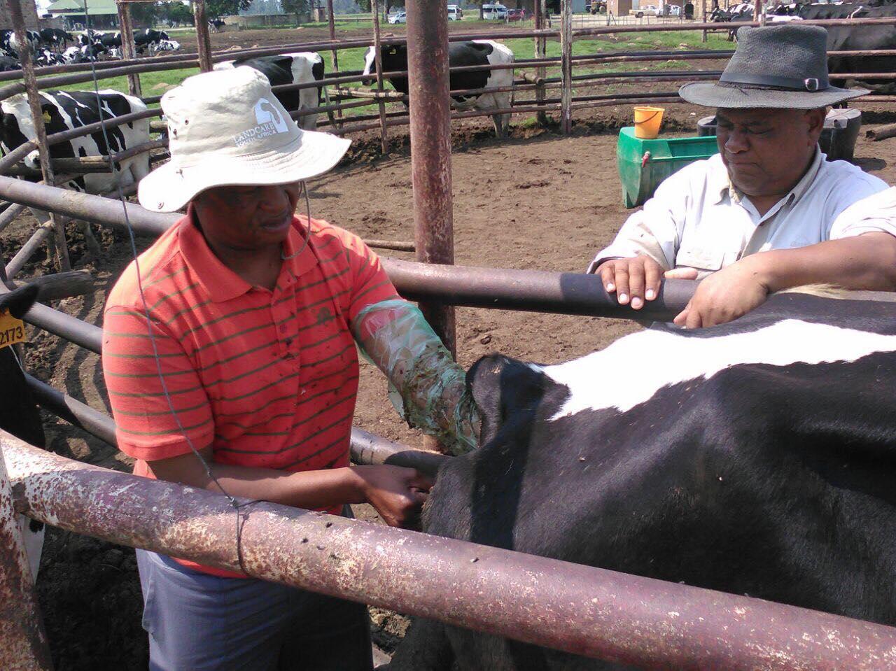 Cattle Artificial Insemination (AI)